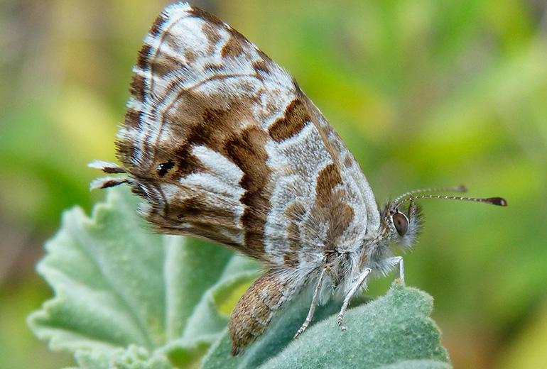 Mariposa del Geranio | Vitaterra